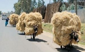 Overloaded donkeys in Ethiopia, photo credit Liz Jones
